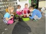 Samteņu audzēšana